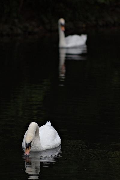 Beautiful swans by EddieDaisy