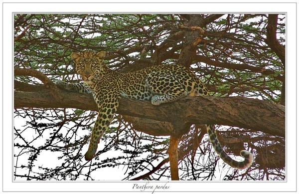 Leopard by mjparmy