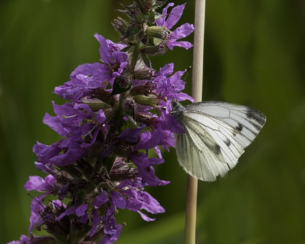 SMALL WHITE BUTTERFLY  [ FEMAL ]    THE PLANT IS PURPLE LOOSESTRIFE by jeb2012