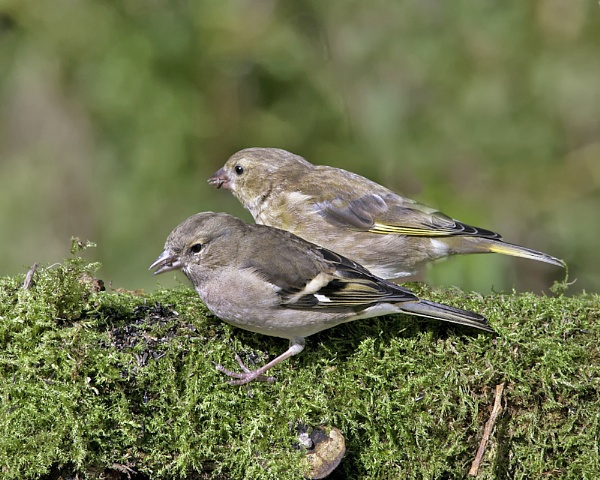 2  YOUNG  BIRDS  CHAFFINCH  AND  A  GREENFINCH by jeb2012