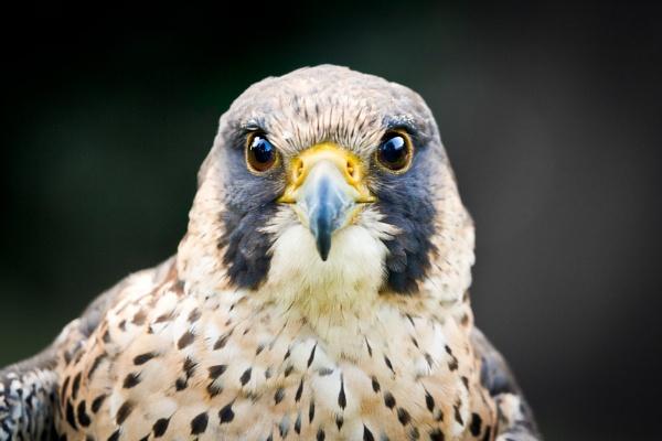 Peregrine Falcon by Martin_D