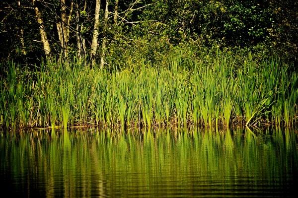 reflecting reeds by EddyG