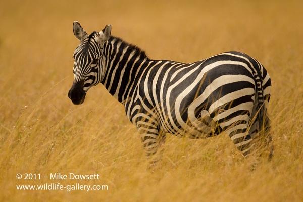 Zebra in the Masai Mara by MikeDowsett