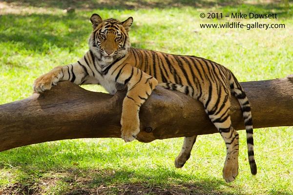 A Stunning Tiger by MikeDowsett
