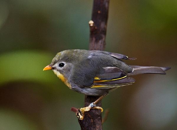Pekin Robin by tommyld