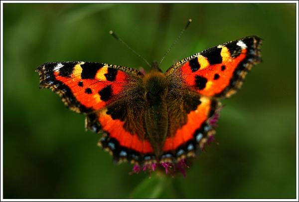 Butterfly by Heffo1