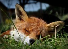 Fox at Blackberry Farm, East Sussex