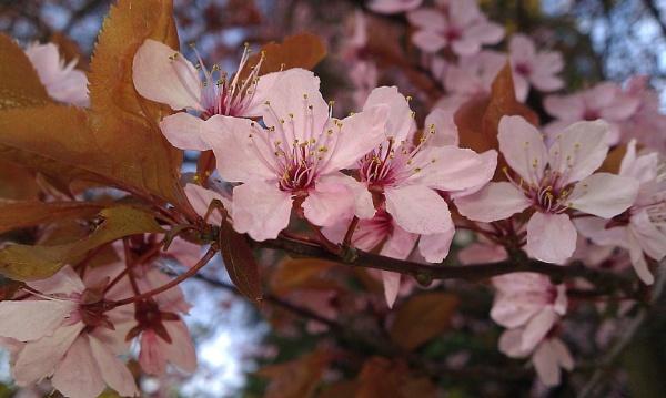 Cherry blossoms by KIWIGIRL78