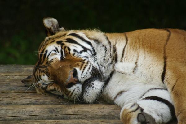 Sleepy Kitty by Calvin_Photographs