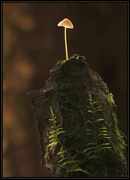 Tree Stump Mushroom by viscostatic