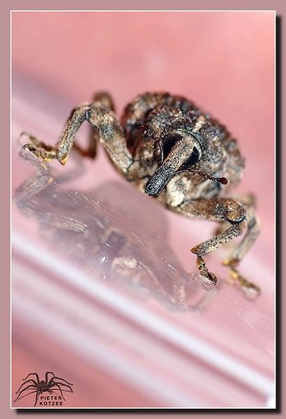 Weevil by Pieter_Kotzee