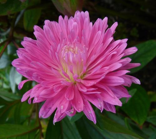 Pink Aster by Albertajune