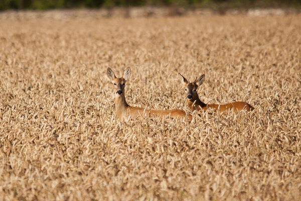 Hello Deer by Wallybazoom