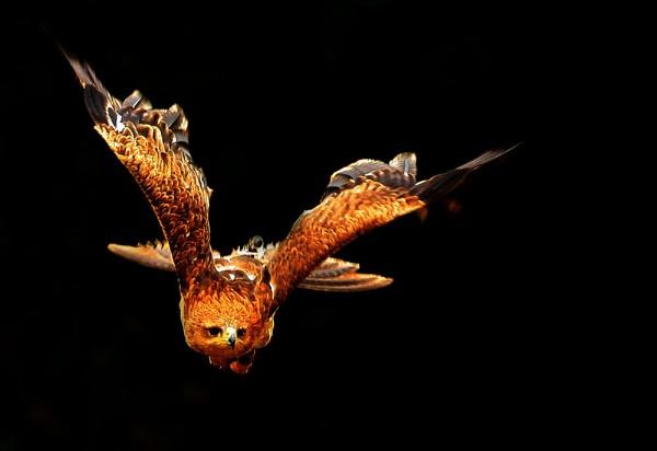 Eagle by chunky1972