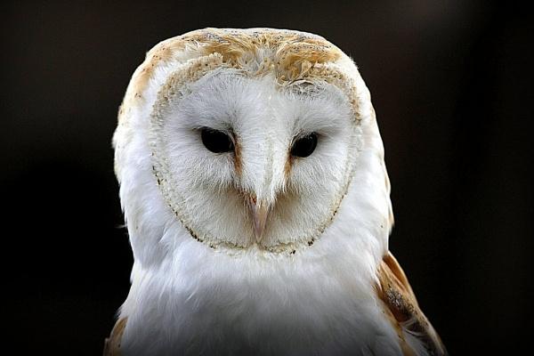 barn owl by billkouk