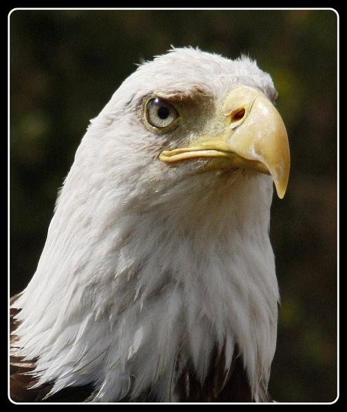 Bald Eagle by billkouk