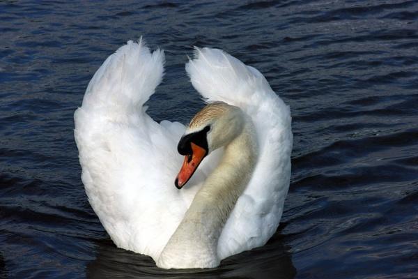 Mute Swan by billkouk