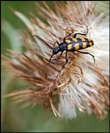 Sexton Beetle.