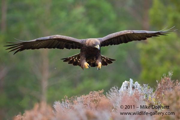 Golden Eagle Landing by MikeDowsett