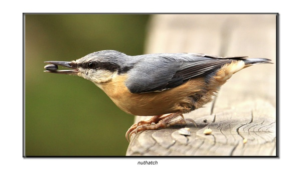 nuthatch with seed by hotwings