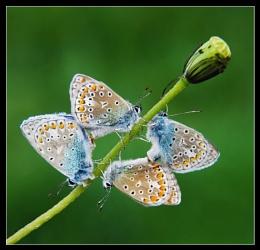 commond bleu
