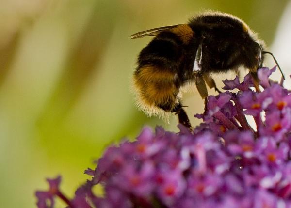 Honeybee by Y_M