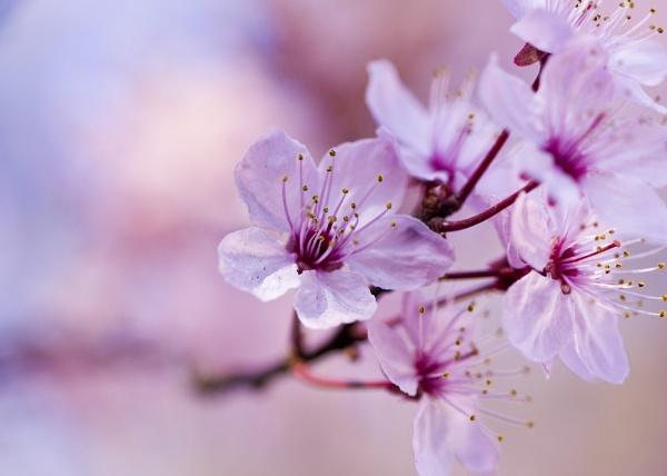Beautiful cherry blossom by Y_M