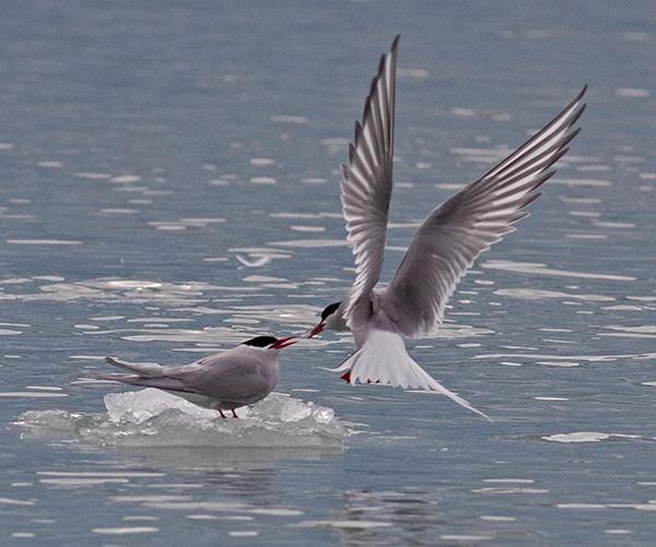 Arctic Terns courtship feeding by hibbz