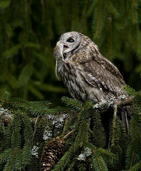 Tawny Owl with kill by hibbz