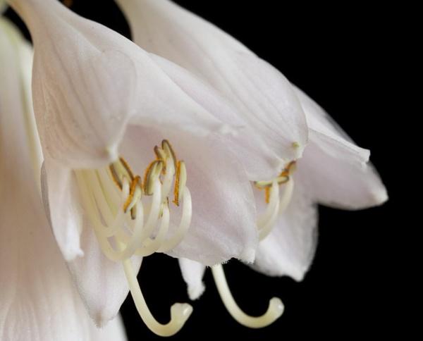 Hosta Flowers by TJC63