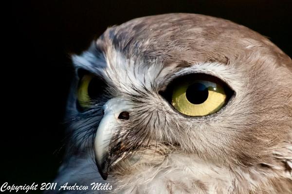 Owl by dvdrew
