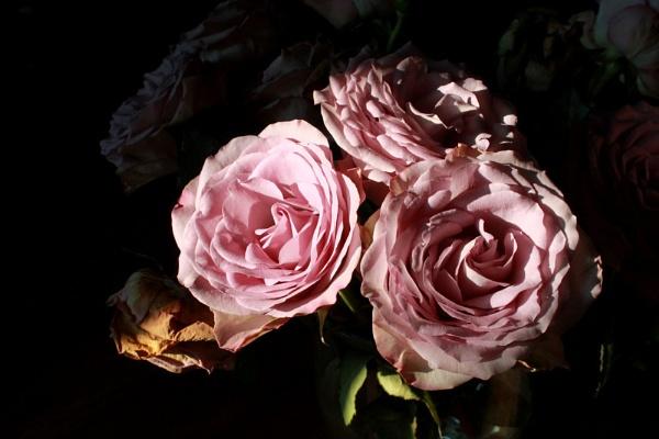 roses by SamM