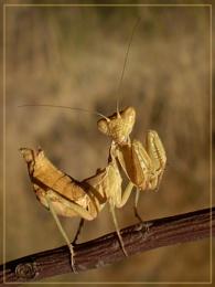 stumpy mantis
