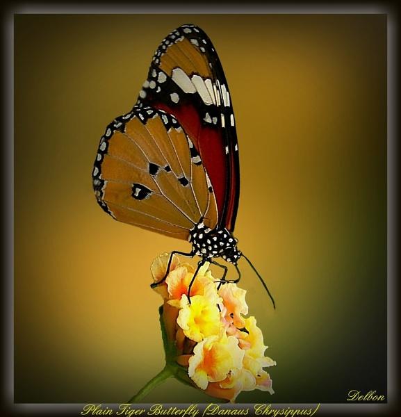 Plain Tiger Butterfly by Delbon