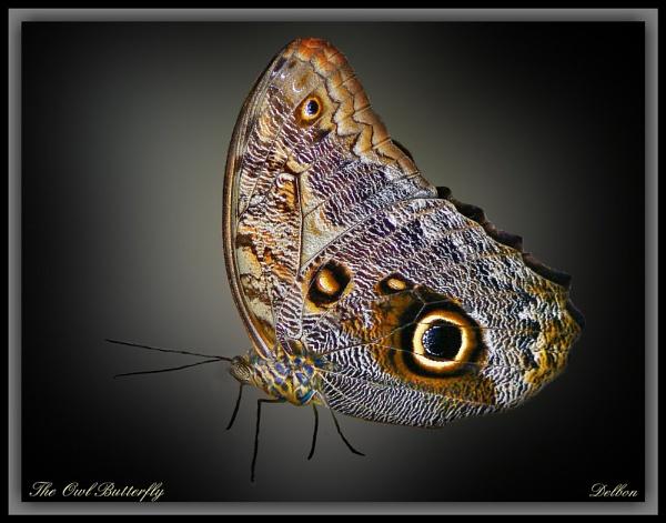 The Owl Butterfly by Delbon