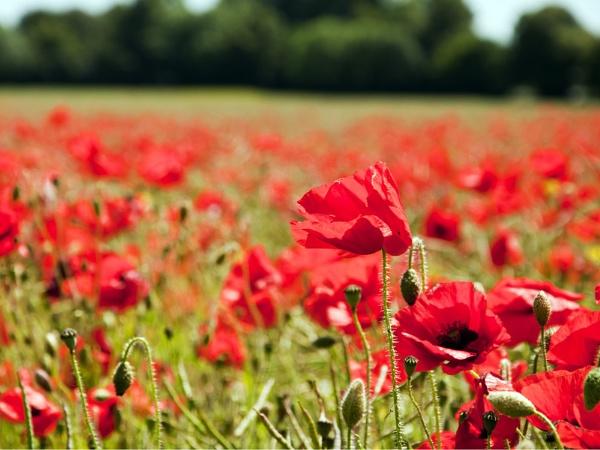 Poppies by Wallybazoom