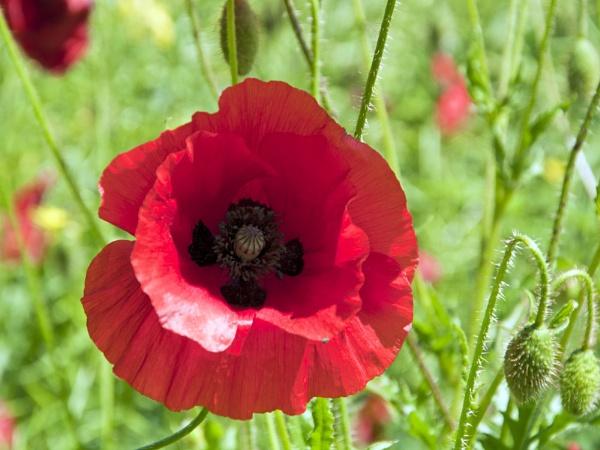 Poppy by Wallybazoom