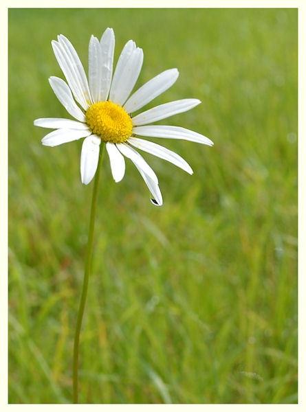 daisy dew by Swanvio