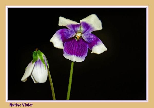 Native Violet by Joeblowfromoz