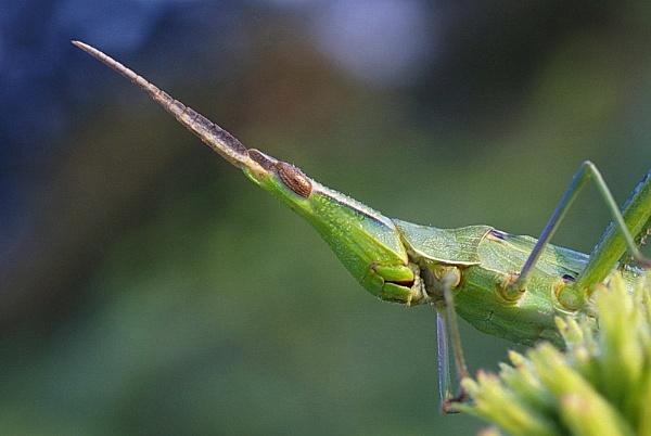 Acrida ungarica (Nosed Grasshopper) by zmecanin