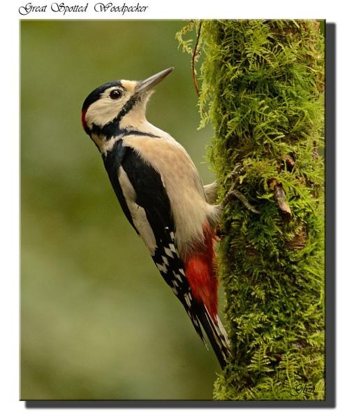 Great Spotted Woodpecker by Glyn1