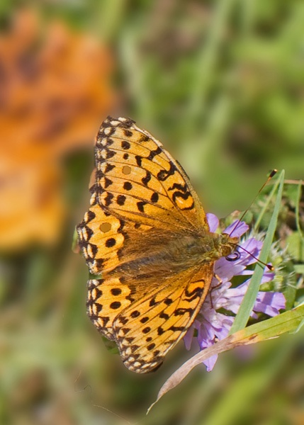 Pearl bordered fritillary by wonkers