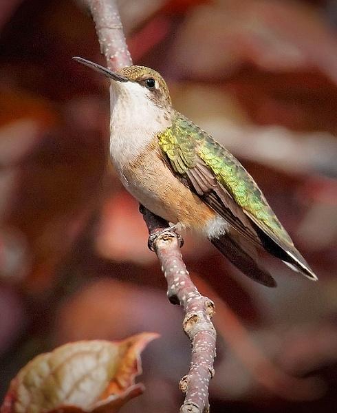 Hummingbird by Oakenshield