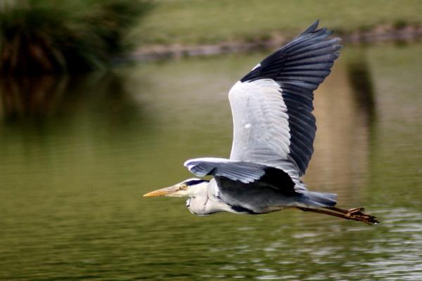 Grey Heron by billkouk