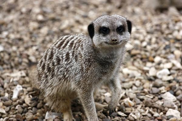 Meerkat   (.com)lol by billkouk