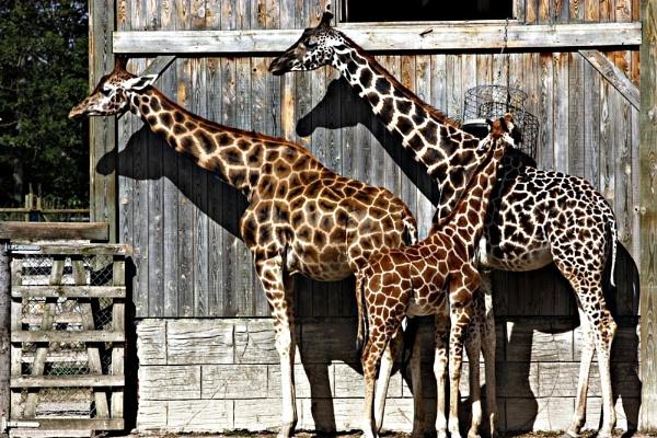 Reticulated Giraffe   Rothschilds Giraffe by billkouk