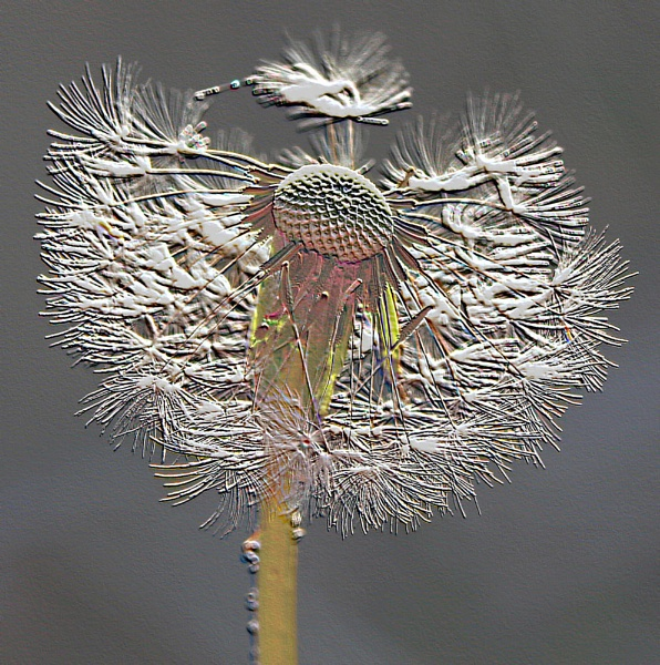 Dandelion Clock by metro074