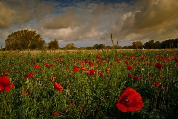 Poppy Field by Audran