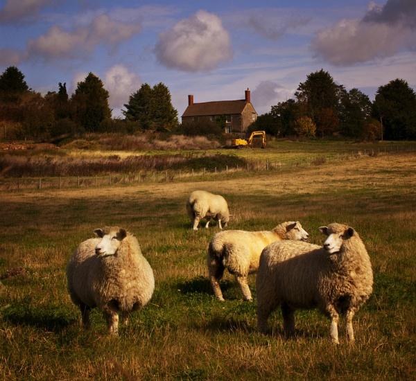 Farmhouse Sheep by Audran