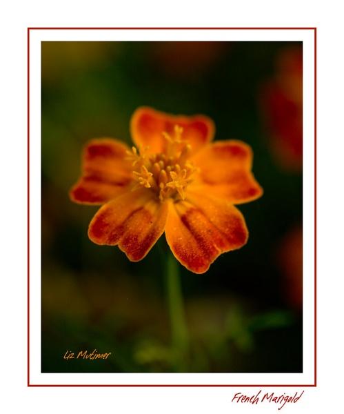 French Marigold by LizMutimer